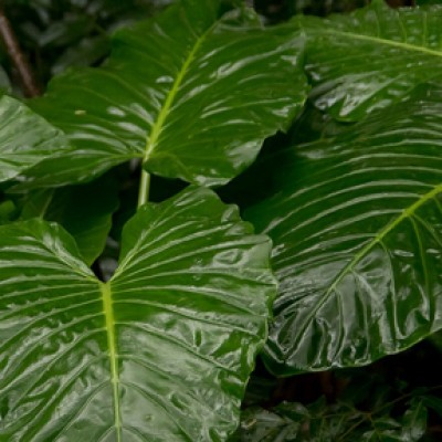 Alocasia dark star